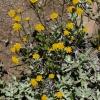 Eriophyllum lanatum 7-16-16