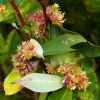 willow galls 90409175