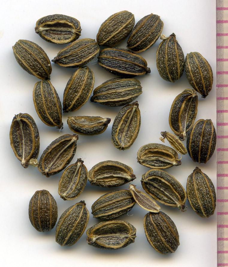 Ligusticum apiifolium seeds