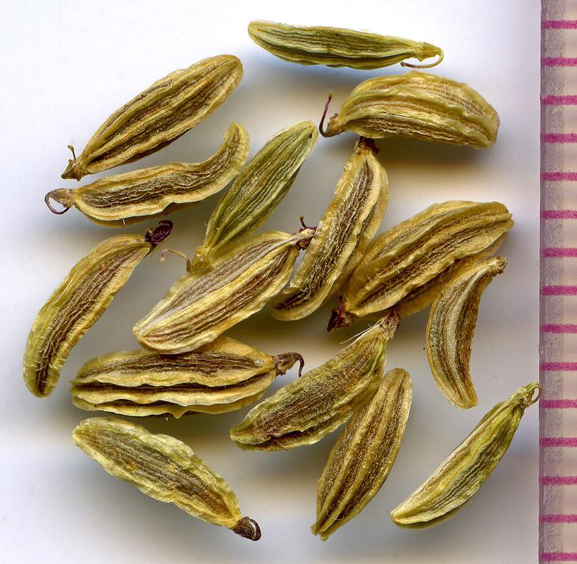 Ligusticum grayi seeds