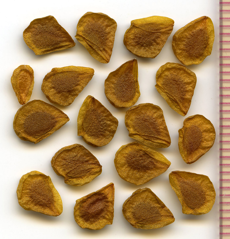 Lilium columbianum seeds