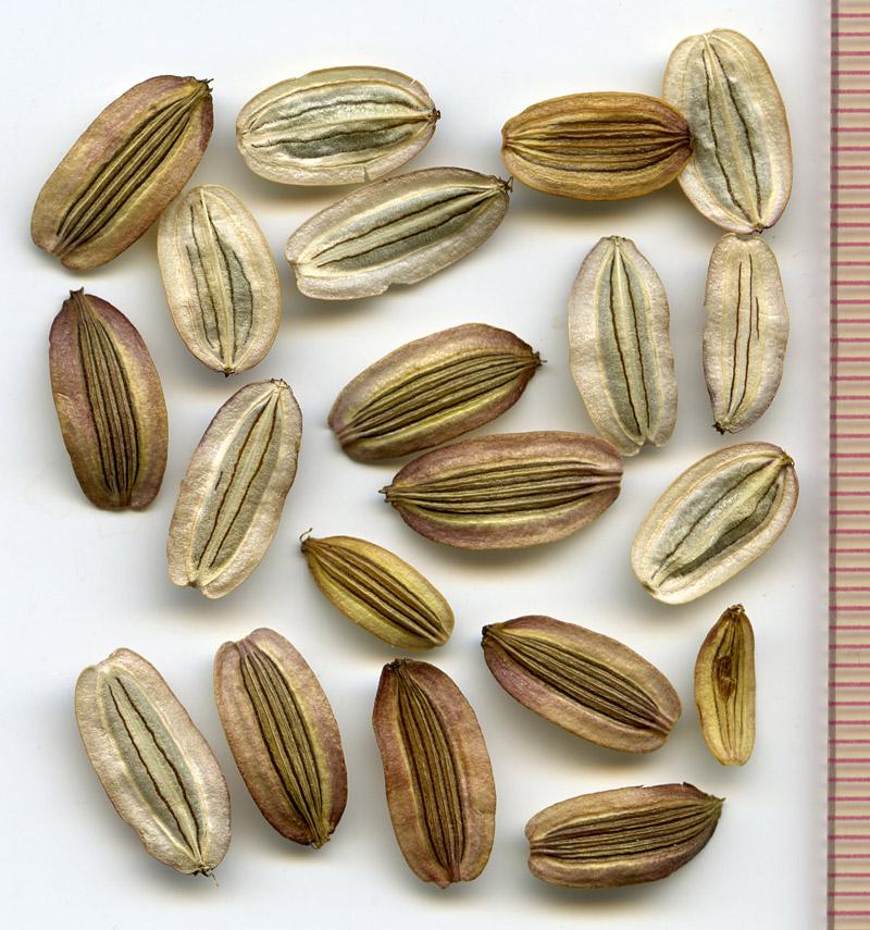 Lomatium martindalei seeds