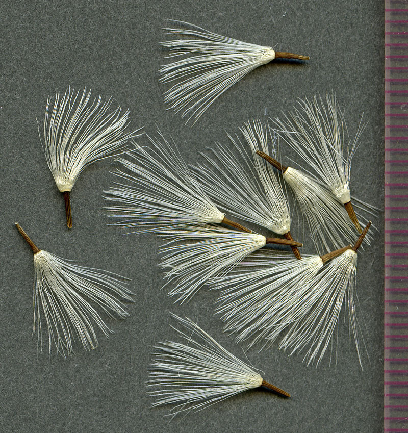 Luina hypoleuca seeds