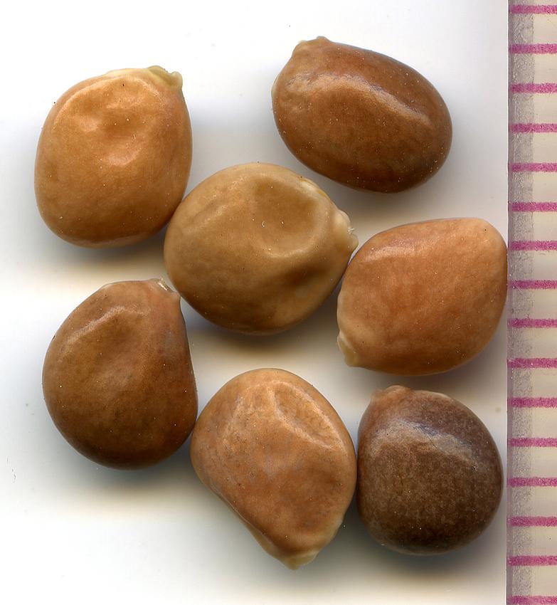 Lupinus arbustus seeds