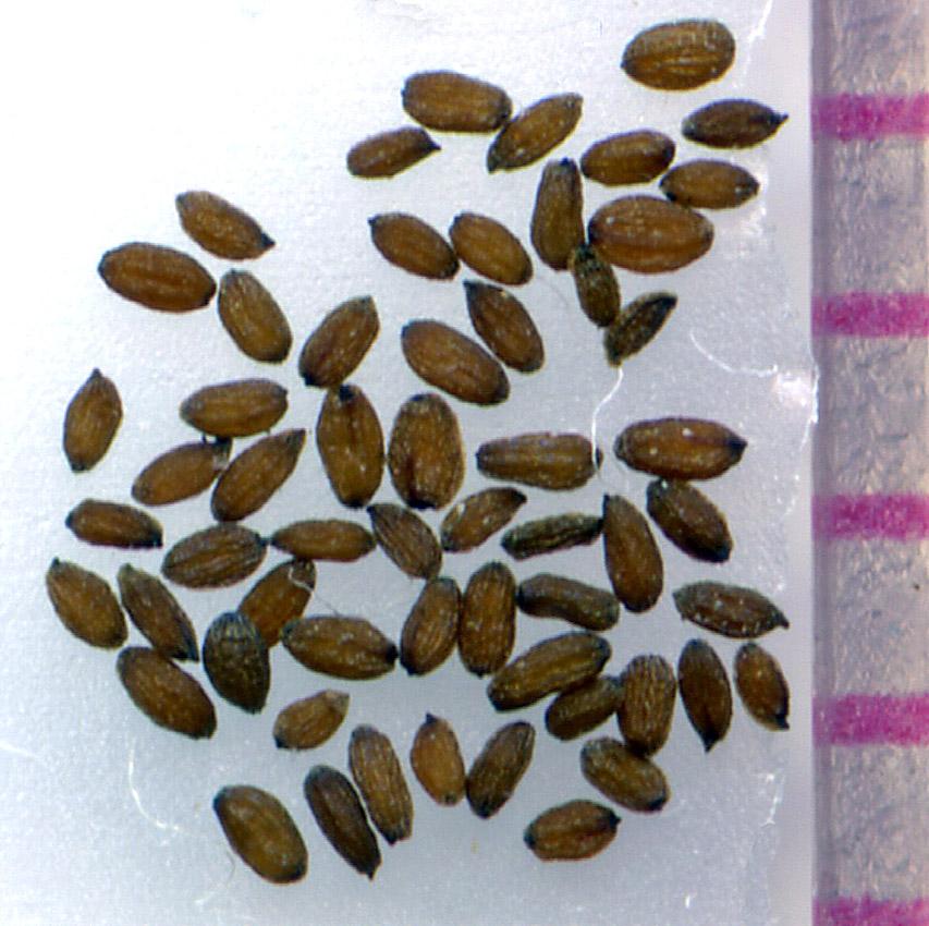 Mimulus nasutus seeds