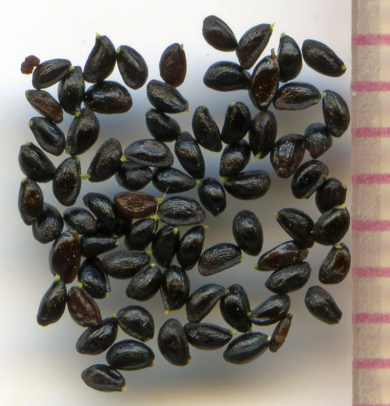 Mitella breweri seeds