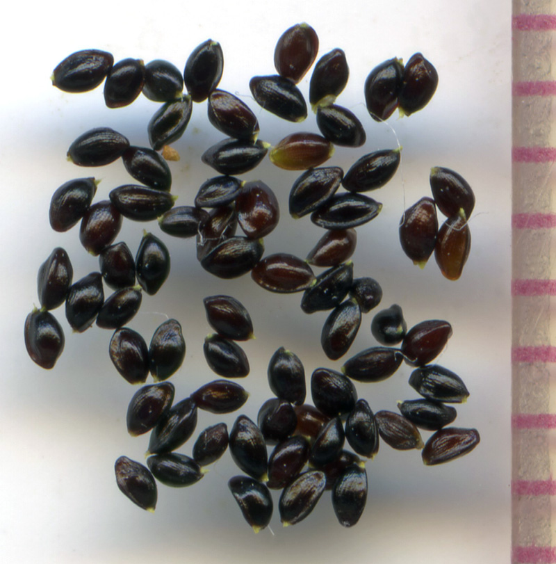 Mitella ovalis seeds