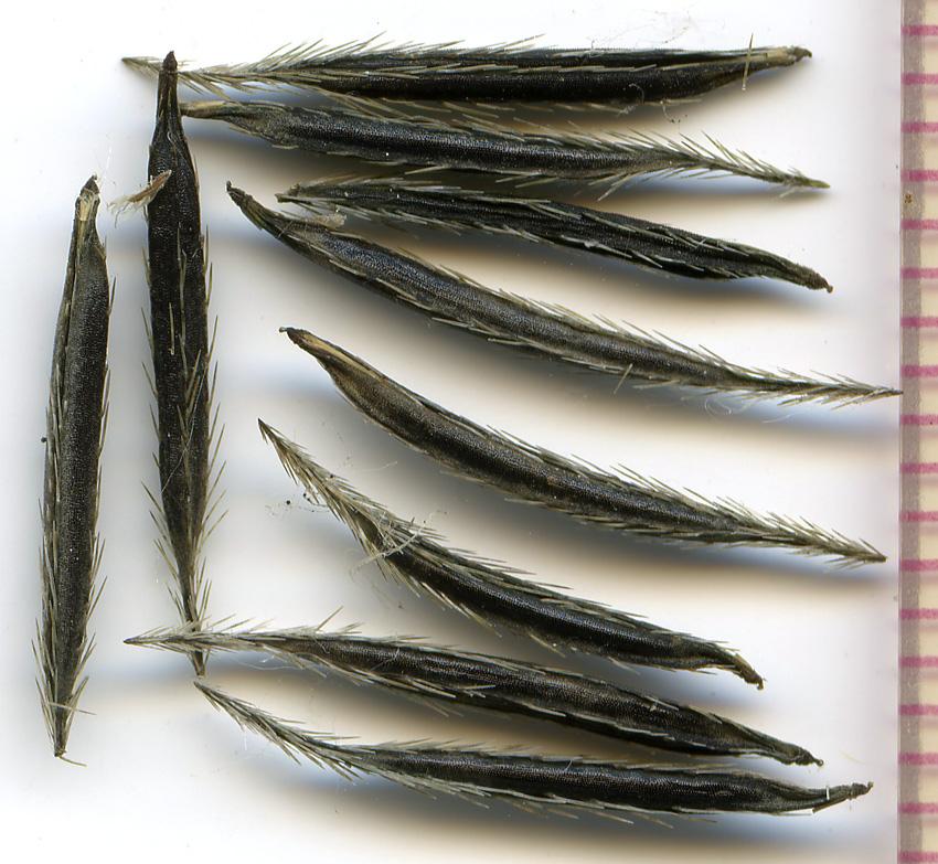 Osmorhiza berteroi seeds