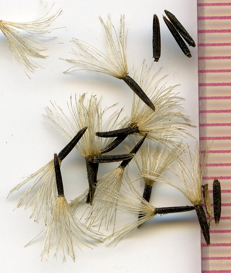 Ageratina occidentalis seeds