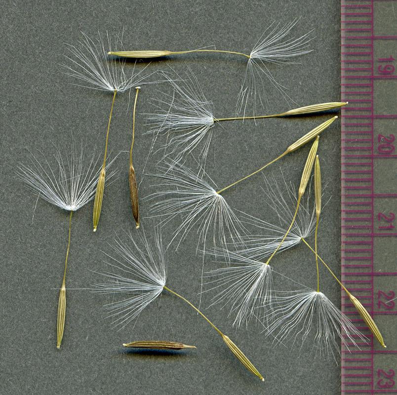 Agoseris aurantiaca seeds