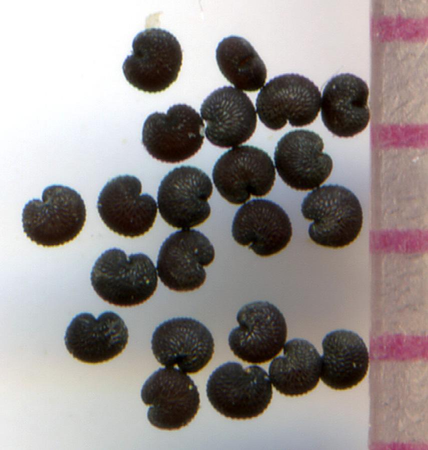 Arenaria serpyllifolia seeds