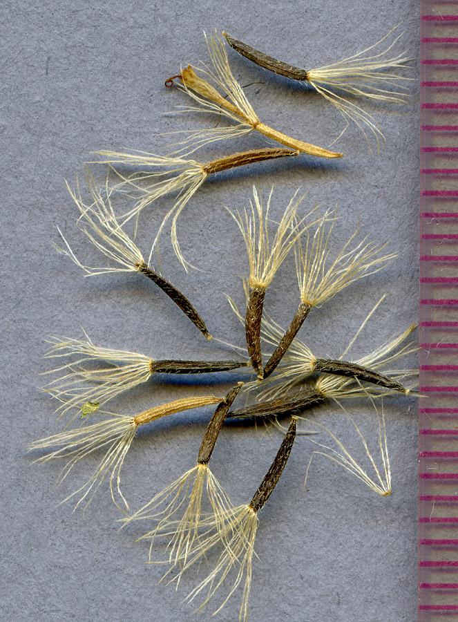 Arnica diversifolia seeds