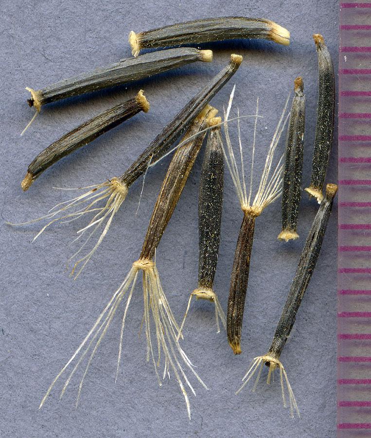 Arnica nevadensis seeds