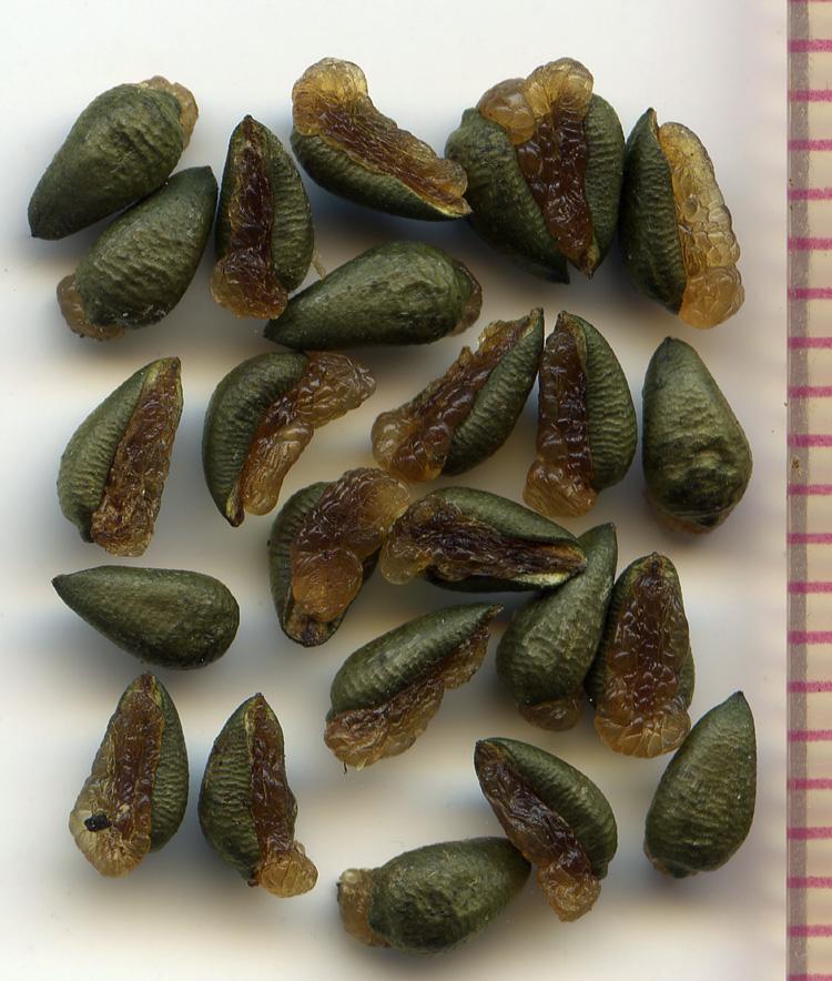 Asarum caudatum seeds