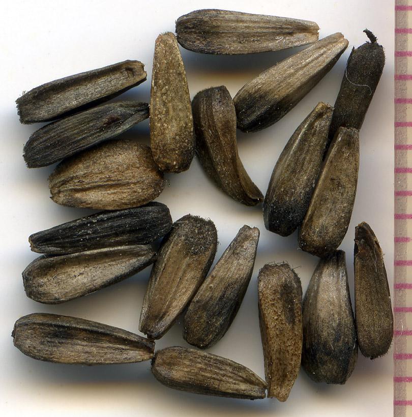Balsamorhiza deltoidea seeds