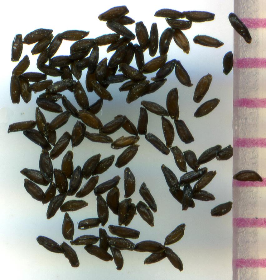 Bolandra oregana seeds