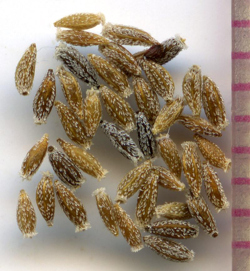 Cascadia nuttallii seeds
