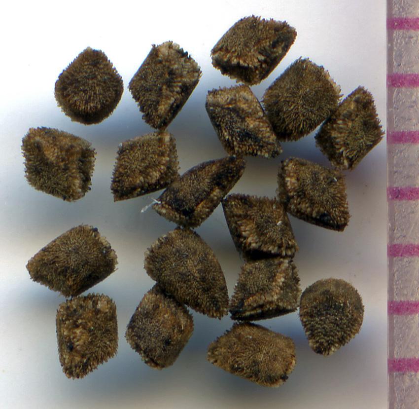 Clarkia amoena seeds