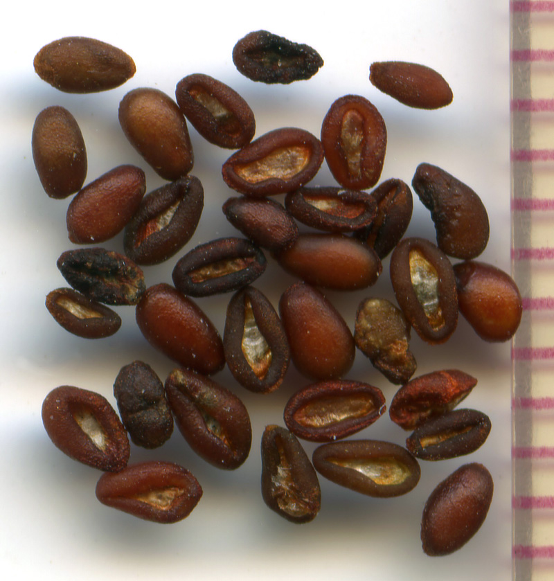 Collinsia grandiflora seeds