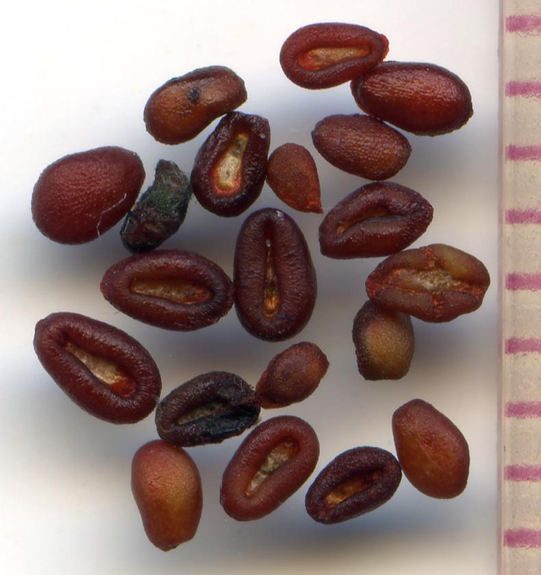 Collinsia parviflora seeds