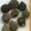 Adelinia grande nutlets