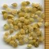 Athysanus pusillus seeds