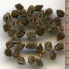 Clarkia rhomboidea seeds