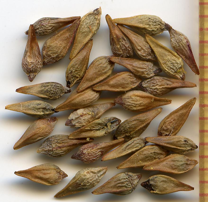 Eriogonum marifolium seeds