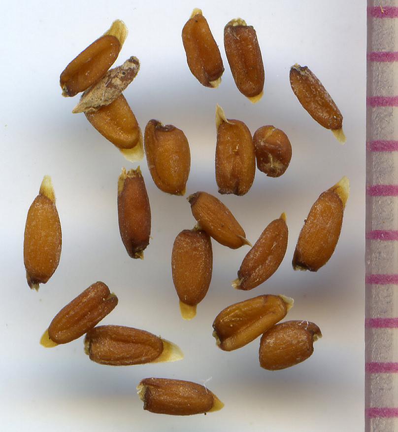 Erysimum capitatum seeds