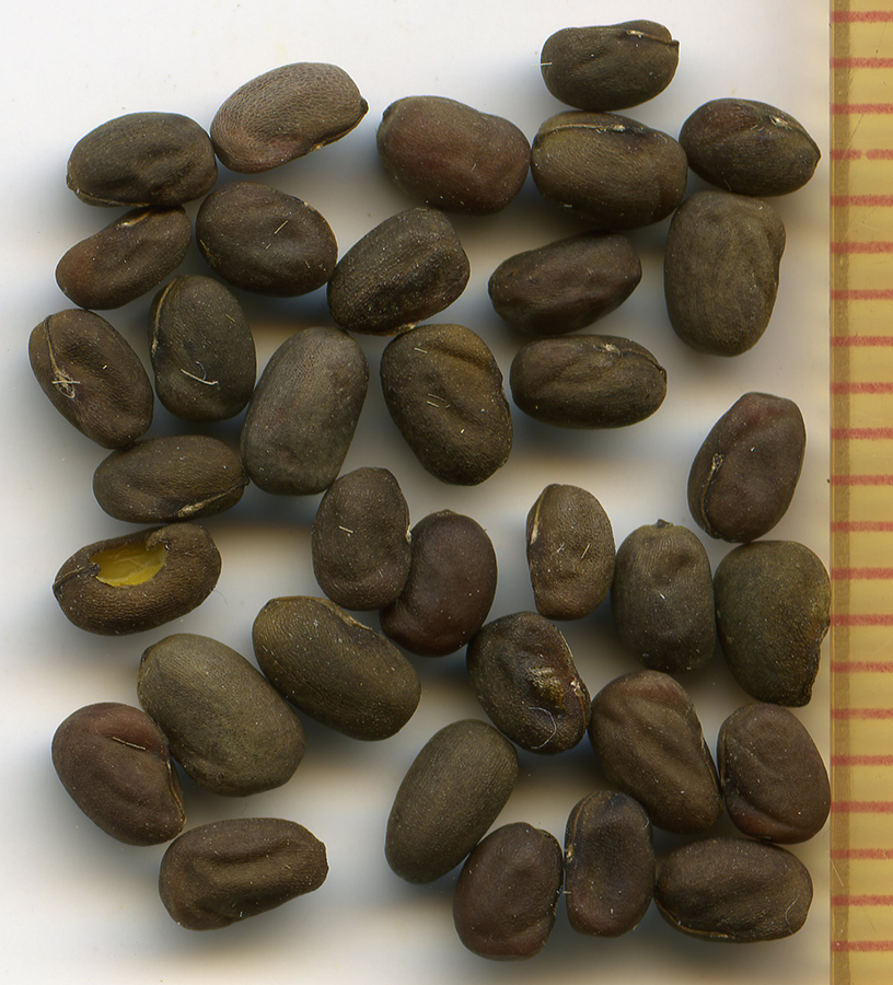 Geranium oreganum seeds