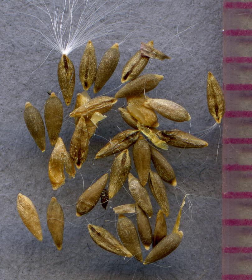 Epilobium clavatum seeds