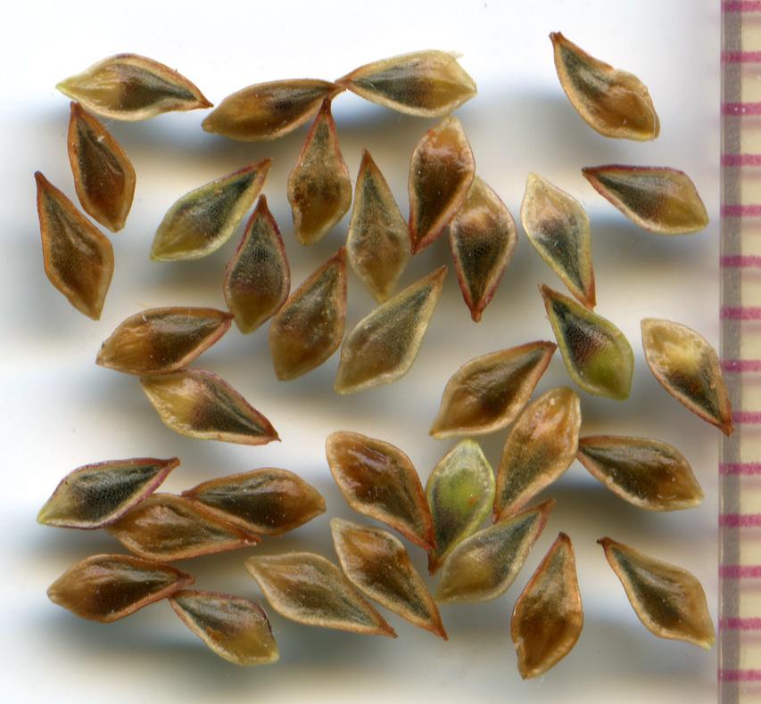 Eriogonum nudum seeds