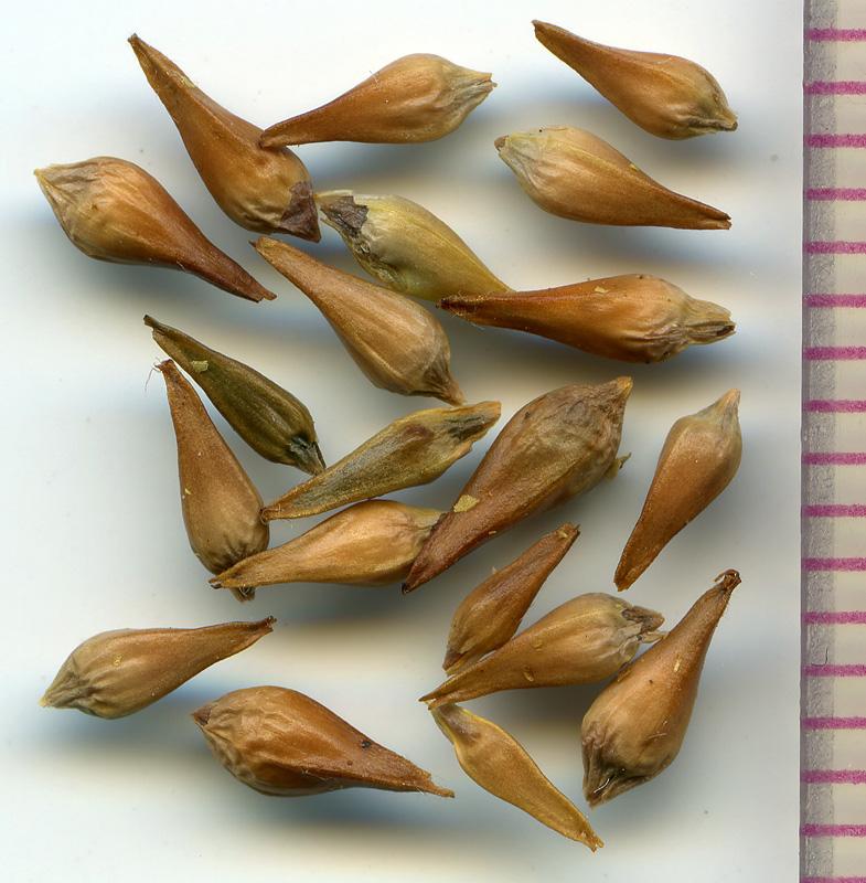 Eriogonum umbellatum seeds