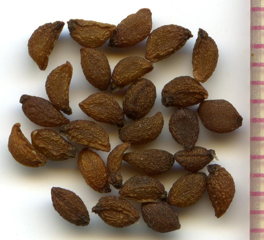 Erythronium oregonum seeds
