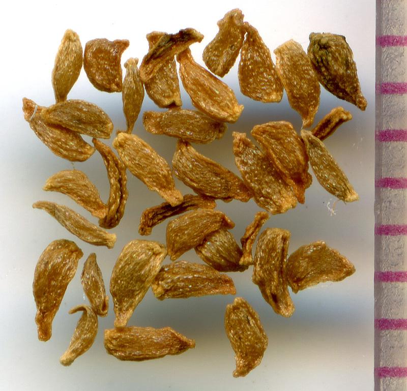 Gentiana calycosa seeds