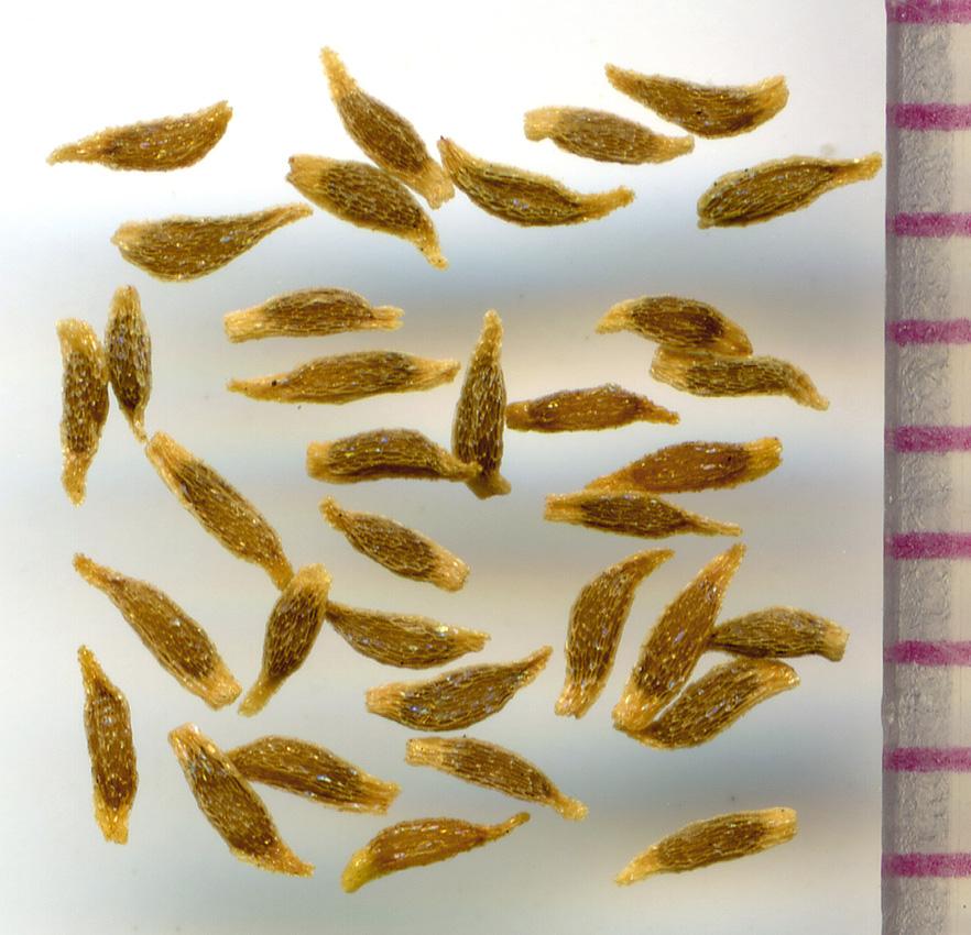 Gentiana sceptrum seeds