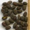 Geranium oreganum seeds