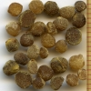 Hydrophyllum occidentale seeds