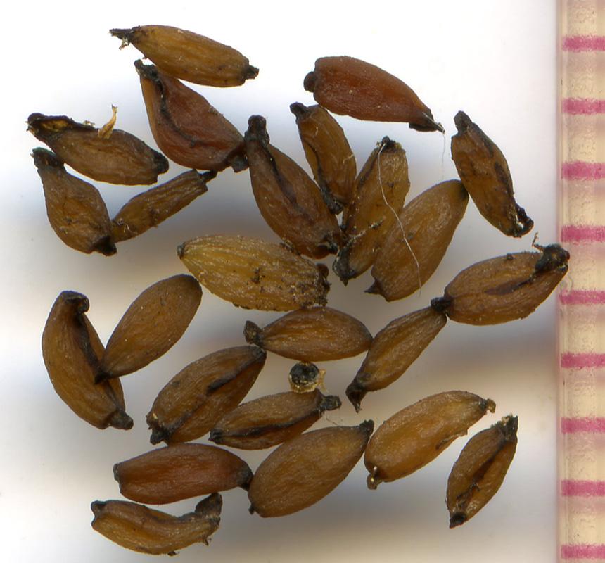 Pedicularis contorta seeds