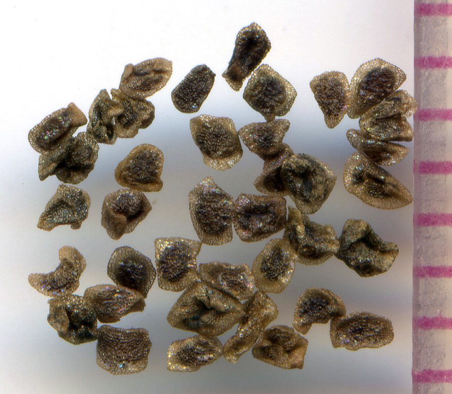 Penstemon procerus seeds