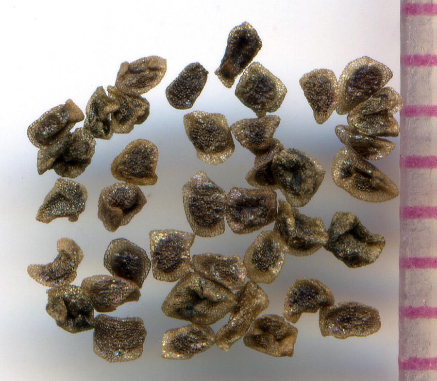 Penstemon procerus seeds