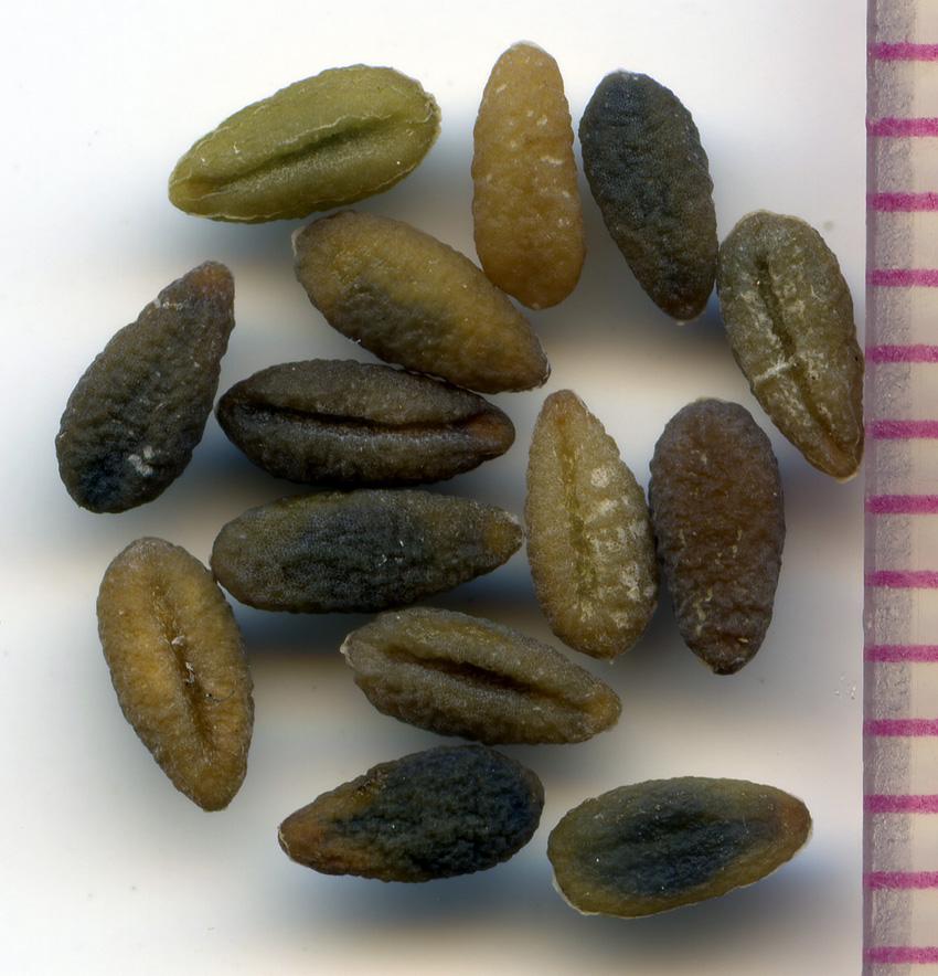 Phlox adsurgens seeds