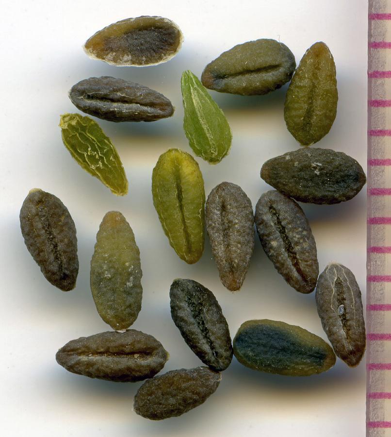Phlox diffusa seeds