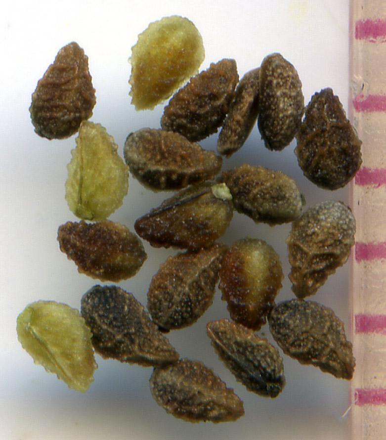 Plagiobothrys scouleri nutlets