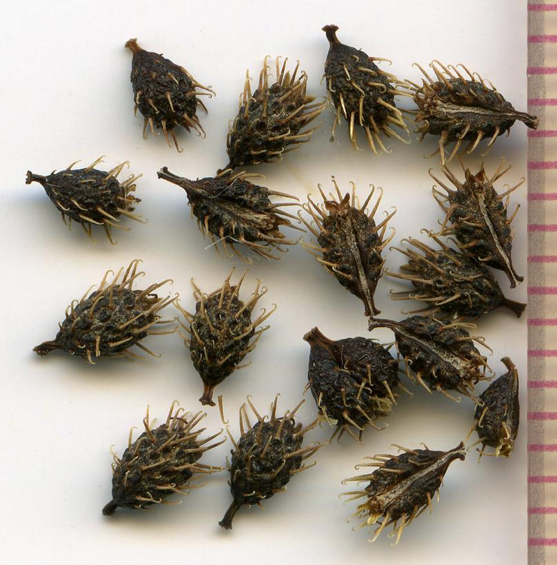 Sanicula crassicaulis seeds