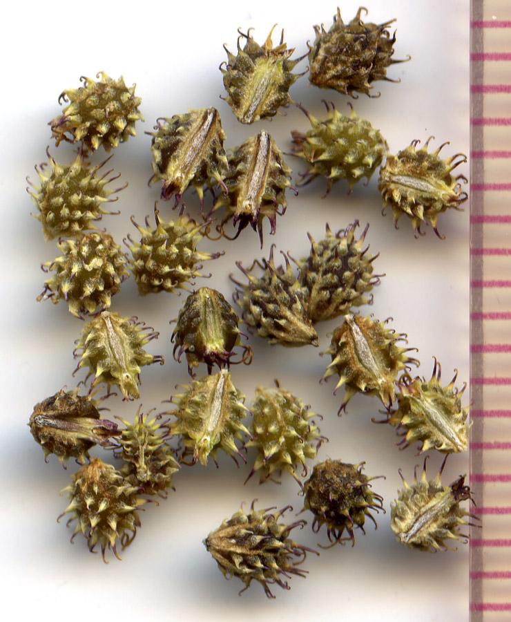 Sanicula graveolens seeds