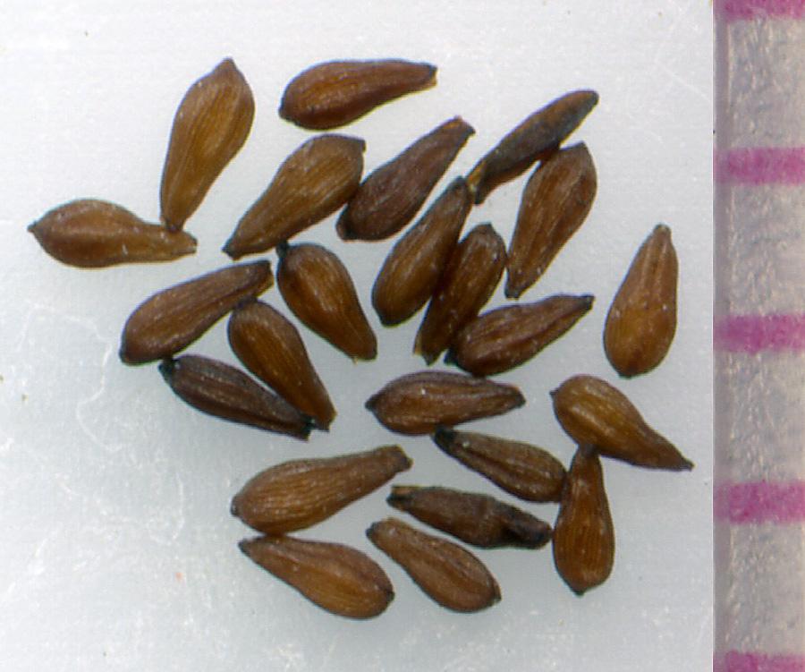 Sedum spathulifolium seeds