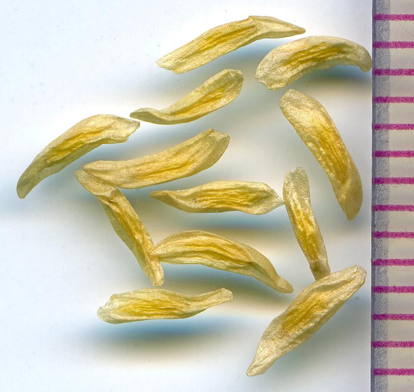 Stenanthium occidentale seeds