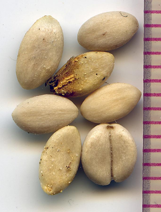 Symphoricarpos albus seeds