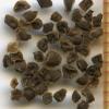 Penstemon cardwellii seeds